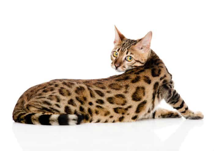 Kot Bengalski Dzikość Serca Zoologicznyexpert