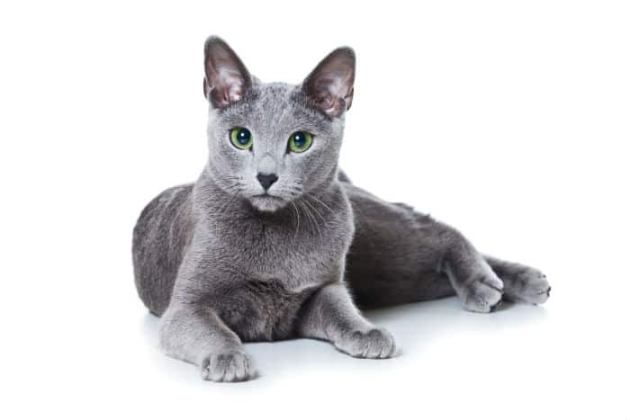 Russian Blue Cat With Blue Eyes