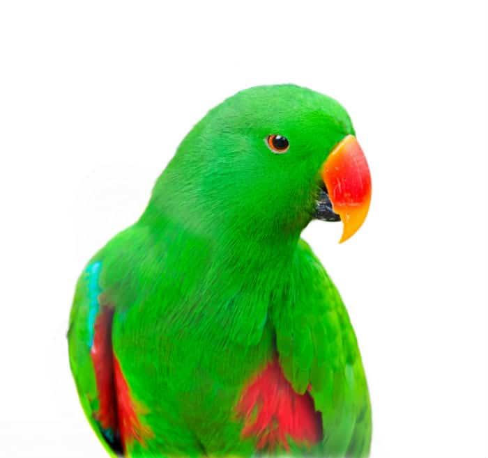 Papuga Lora Wielka