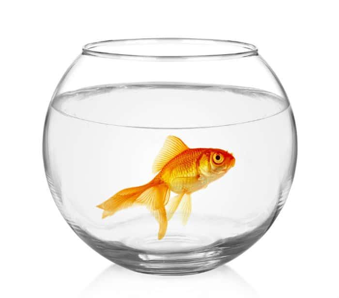 zlota rybka