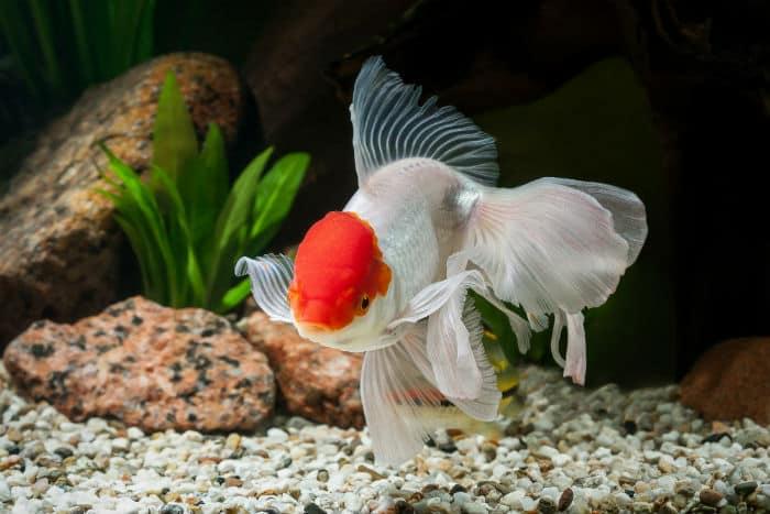 zlota rybka oranda