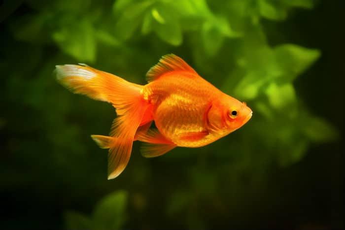 złota rybka