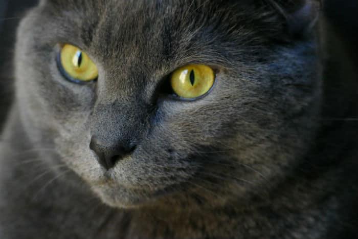 Kot Kartuski Francuski Mim Zoologicznyexpert