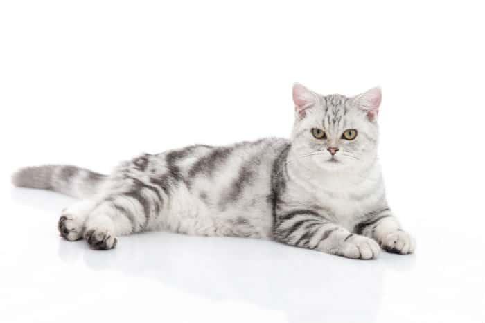 Kot Amerykański Krótkowłosy