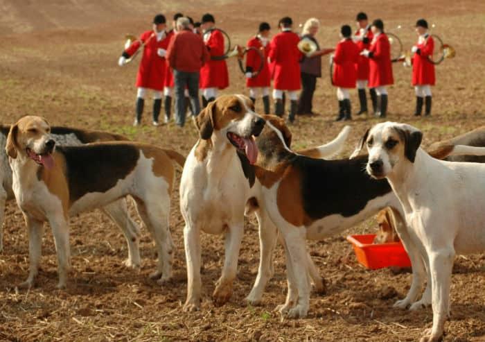 Foxhound Angielski