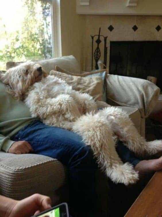Briard na sofie